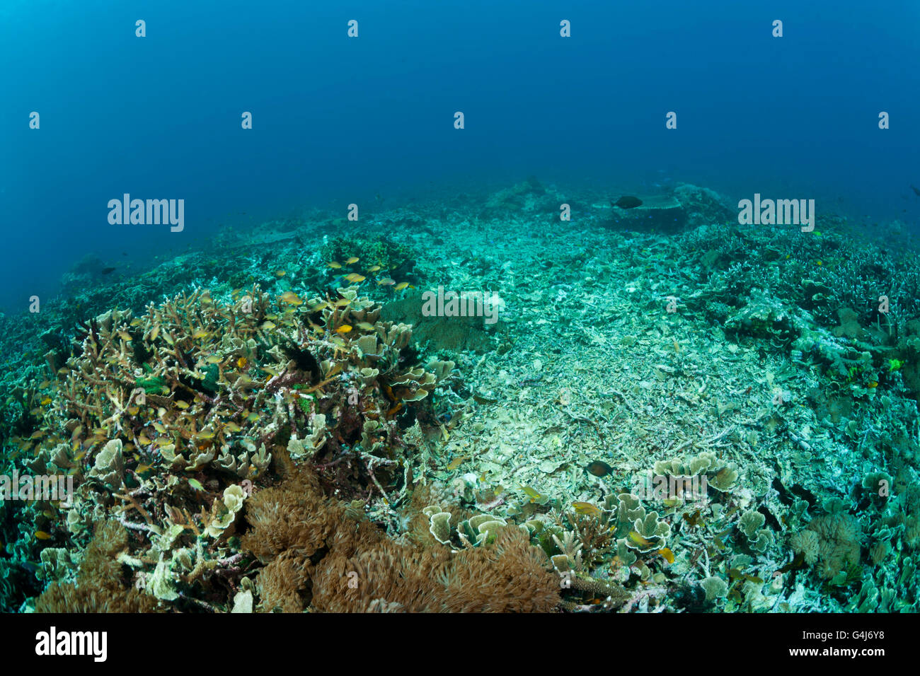 Damaged Coral Reef, Blast fishing, dynamite fishing, Raja Ampat, West Papua, Indonesia - Stock Image