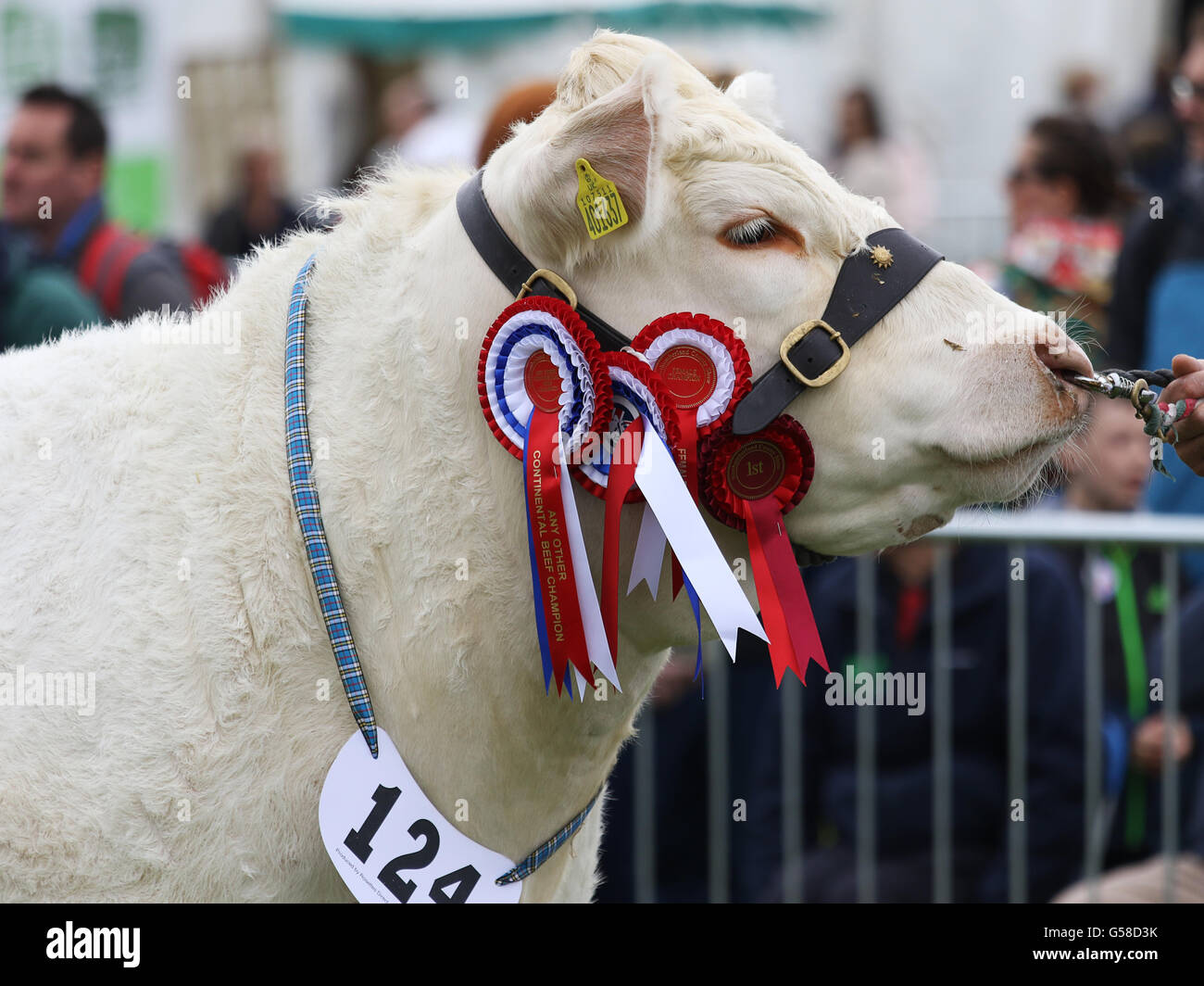 Bywell, England - May 30, 2016: Champion cow at the Northumberland County Show at Bywell in Northumberland, England. Stock Photo