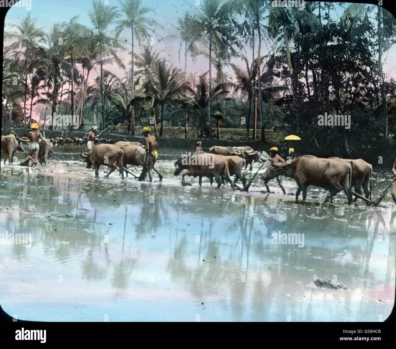 Bauern pflanzen Reis als Ernährungsgrundlage an. India, Asia, travel, farmer, rice, food, ploughing, ox, 1910s, - Stock Image