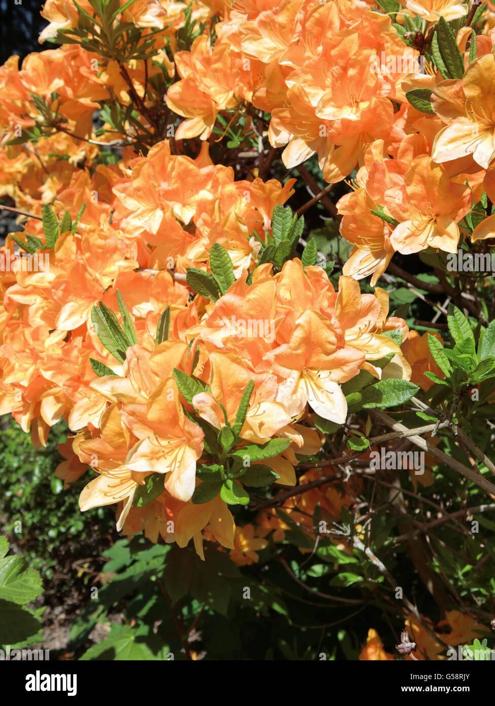 Deciduous Azalea Golden Lights In Flower