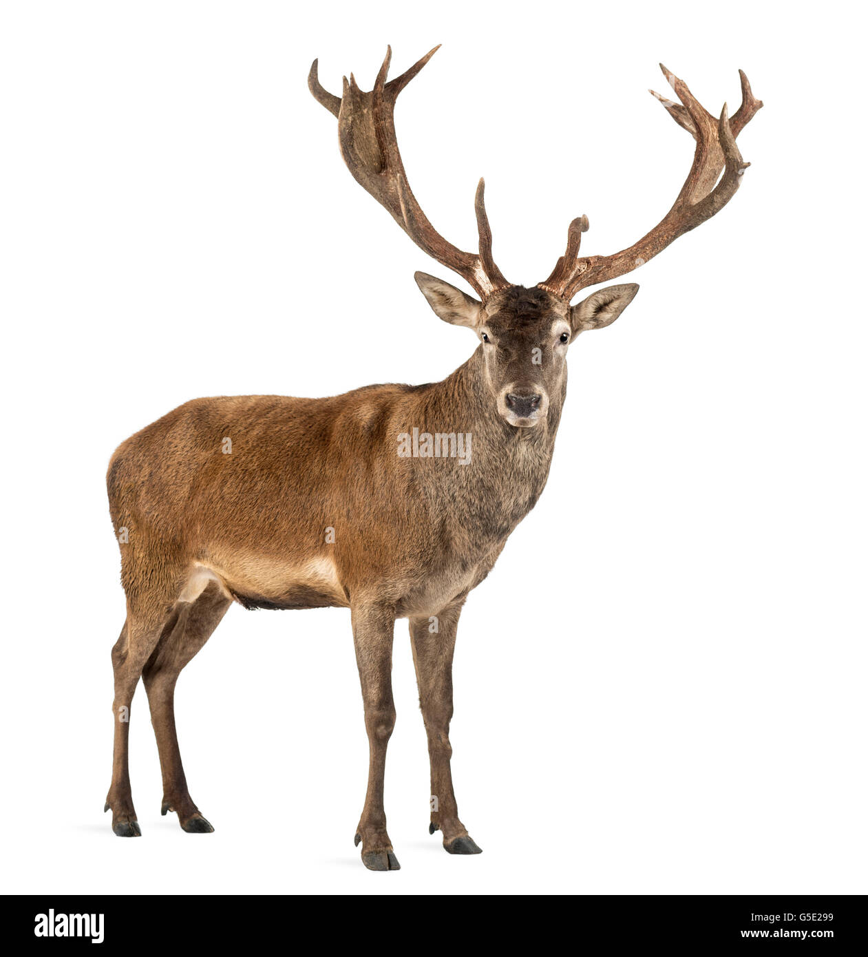 Red deer stag in front of a white background - Stock Image