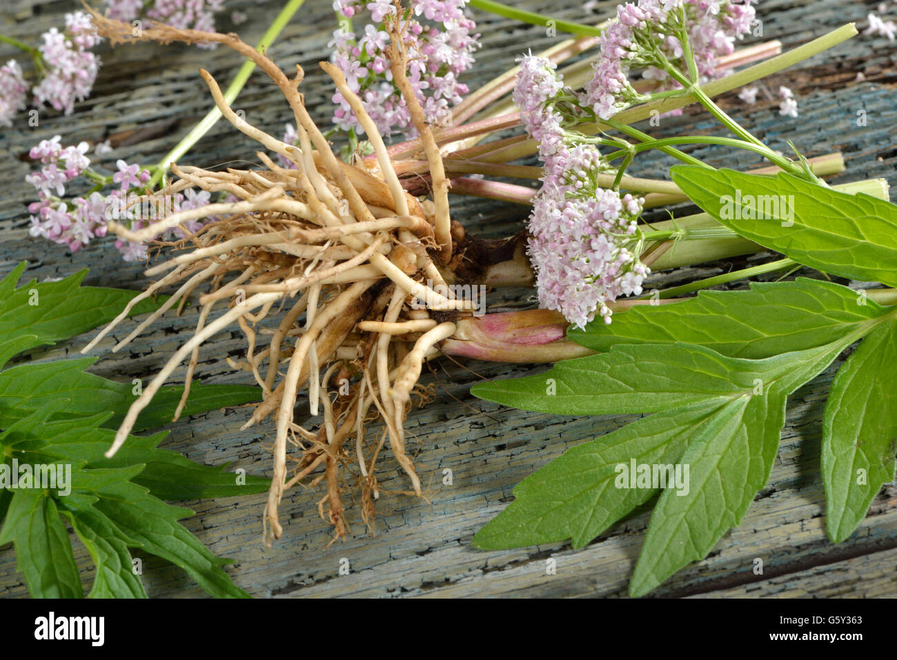Common Valerian, root, leaves, blossom / (Valeriana officinalis) - Stock Image