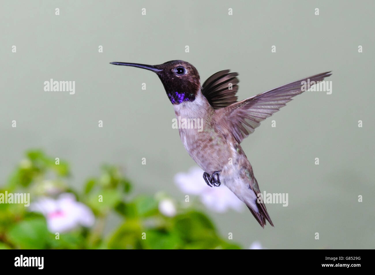 black-chinned-hummingbird-archilochus-alexandri-male-frozen-in-flight-G8529G.jpg