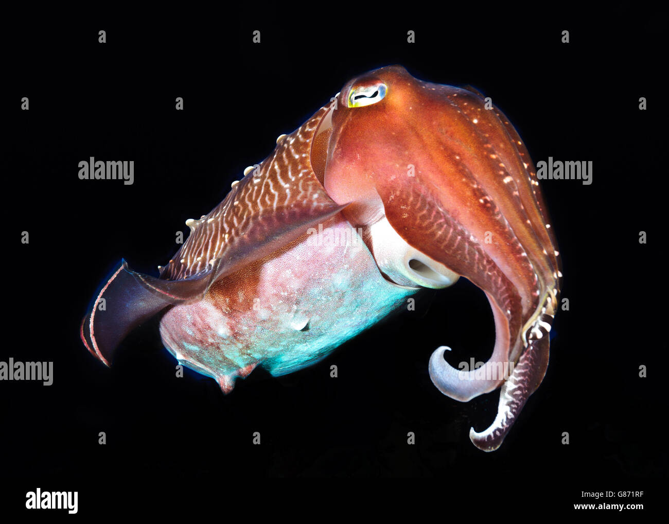 Animal portrait of a pharaoh cuttlefish, Sorong, West Papua, Indonesia - Stock Image
