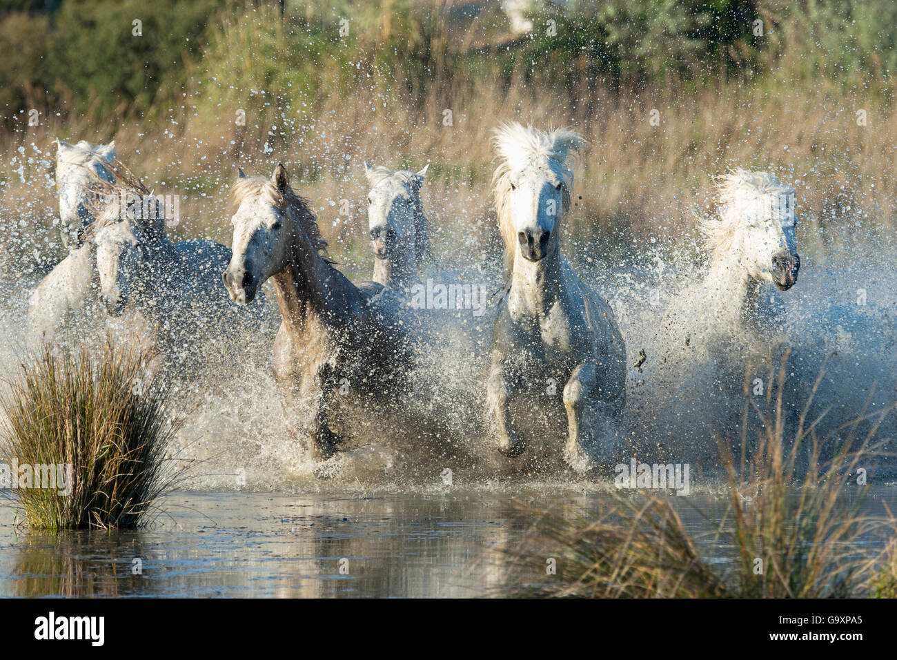 White horses of the Camargue galloping through marshes in the Camargue, France. April. - Stock Image