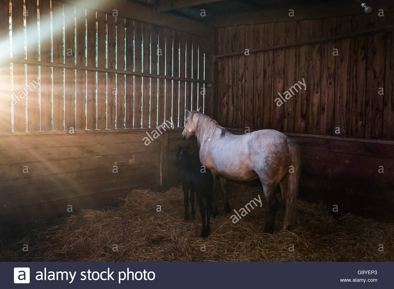 Bonchester Bridge, Hawick, Scottish Borders, UK. 1st July 2016. A Connemara mare and foal in their stable and straw - Stock Image