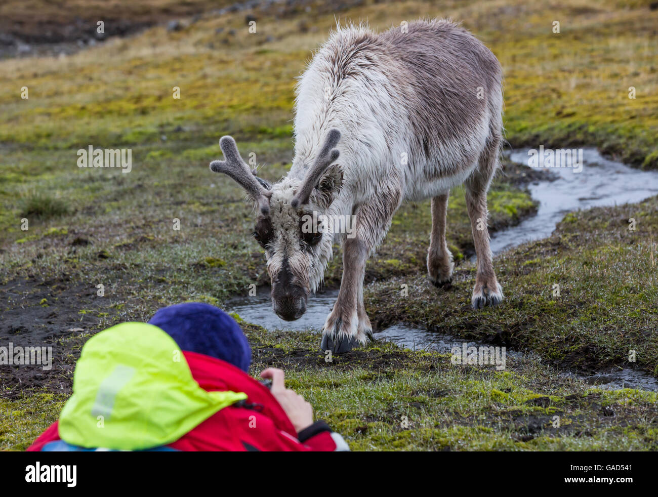 Fearless reindeer makes close approach to wildlife photographer at Alkhornet, Ijsfjorden, Spitsbergen, Norway - Stock Image