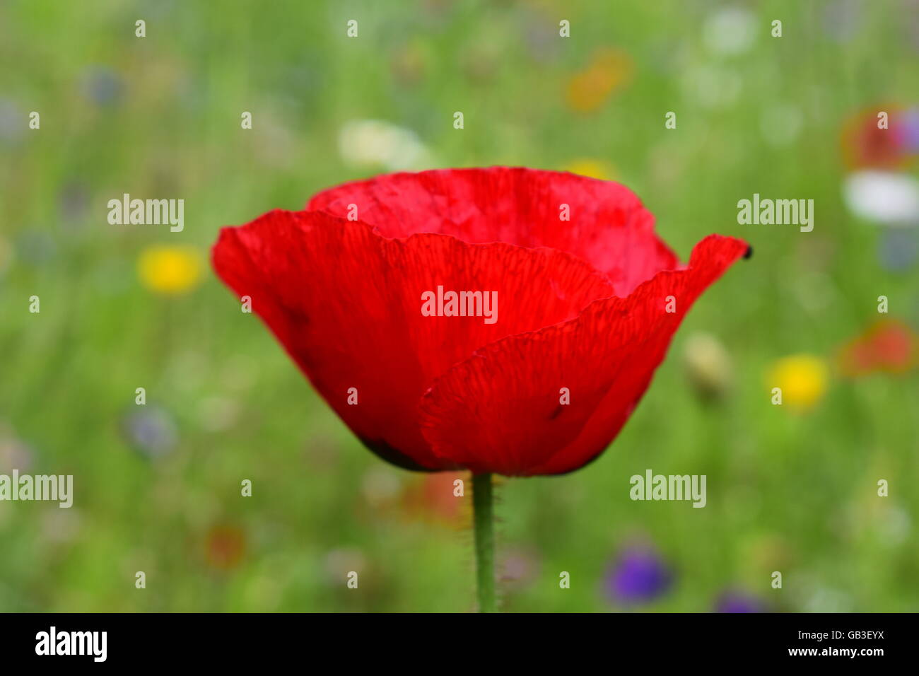 Side View Of Vibrant Poppy Flower Petals Stock Photo 110101038 Alamy