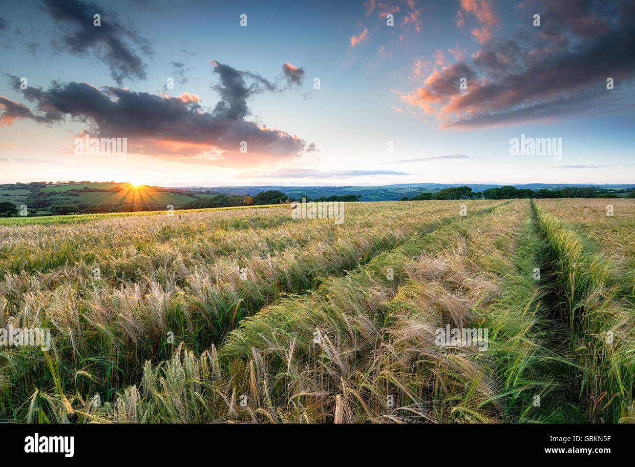 Stunning sunset over a field of ripening barley on farmland near Bodmin in Cornwall - Stock Image