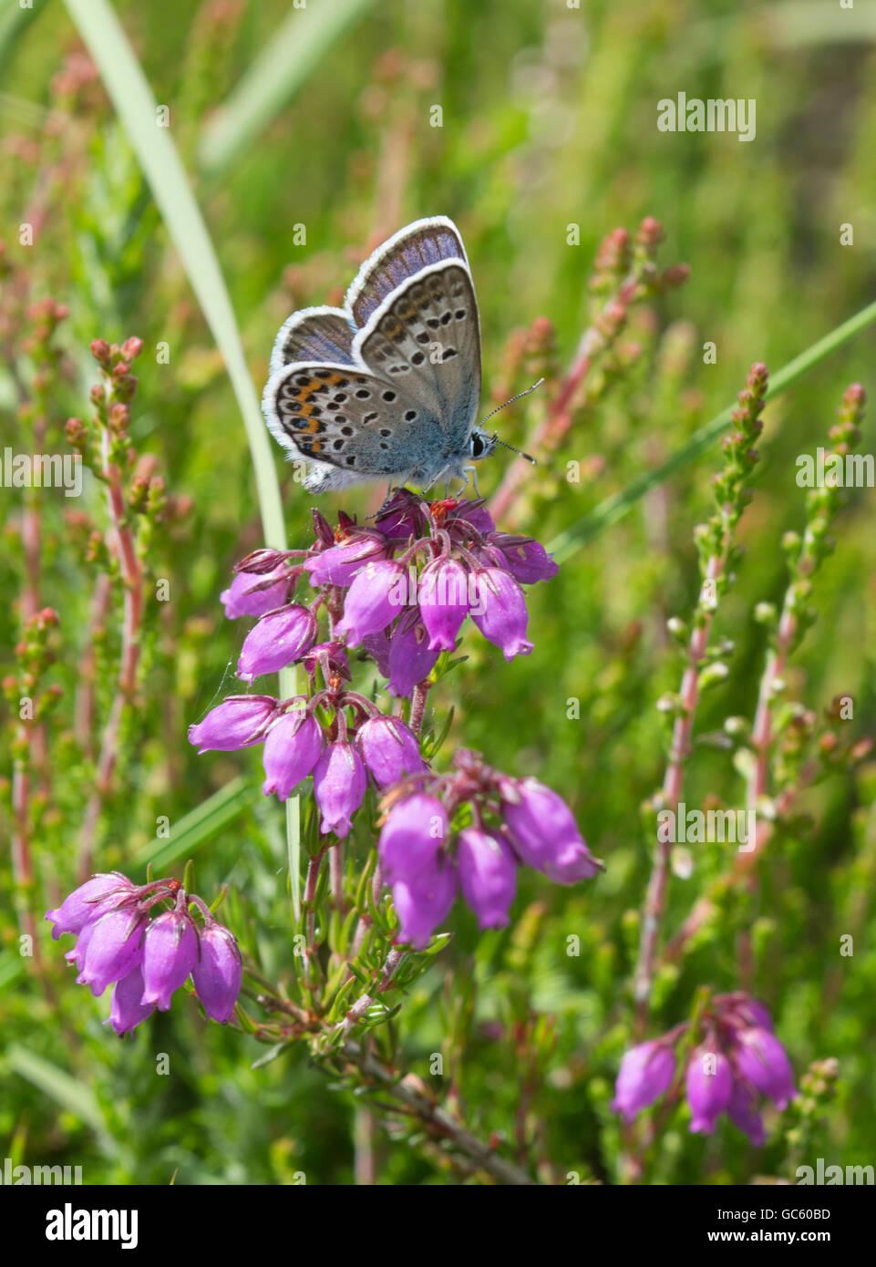 silver-studded-blue-butterfly-plebejus-argus-in-surrey-heathland-england-GC60BD.jpg