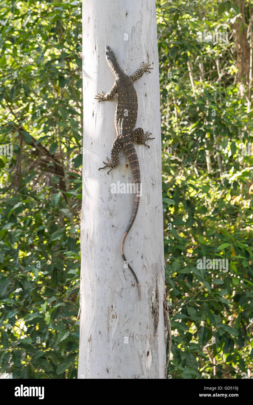 Australian goanna or lace monitor climbing eucalyptus tree in North Queensland, Australia Stock Photo