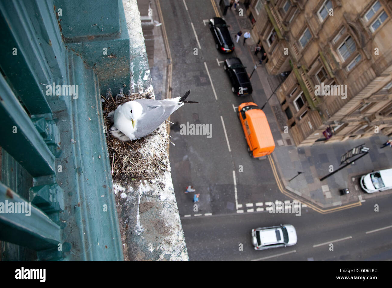 Kittiwakes (Rissa tridactyla) nesting on the Tyne Bridge in Newcastle, England. Stock Photo