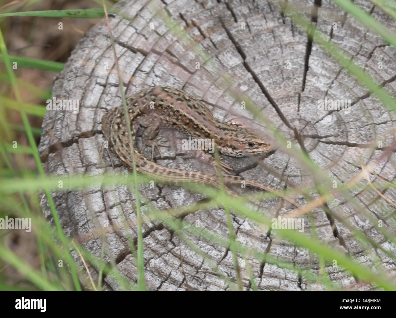 common-or-viviparous-lizard-zootoca-vivipara-with-double-tail-GDJMRM.jpg