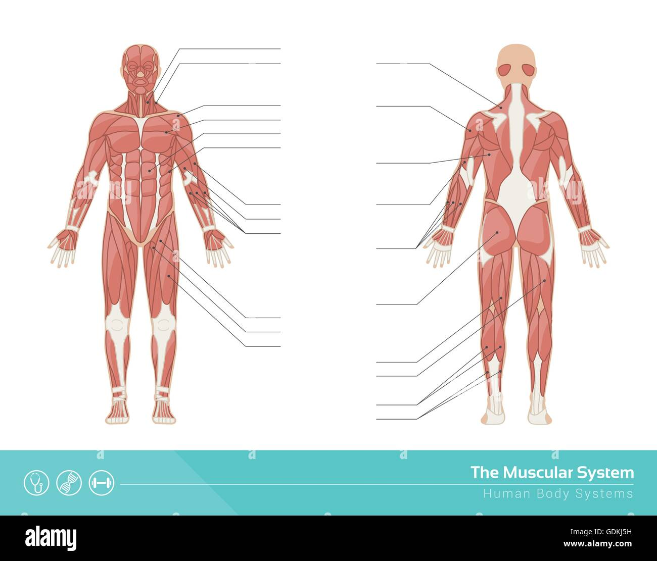 The Human Muscular System Vector Illustration Front And Rear View