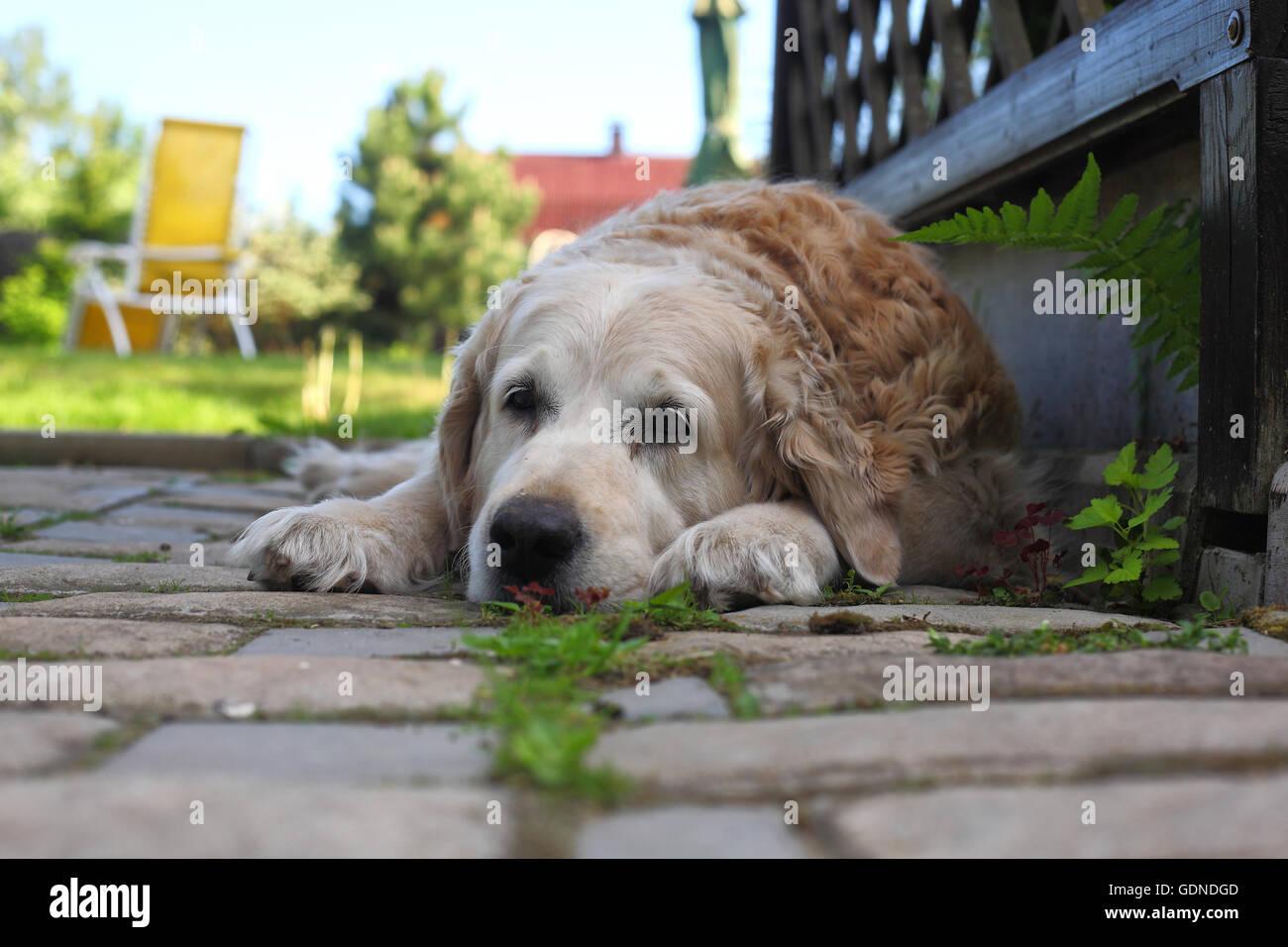 Sad big dog waiting for return of the owner. - Stock Image