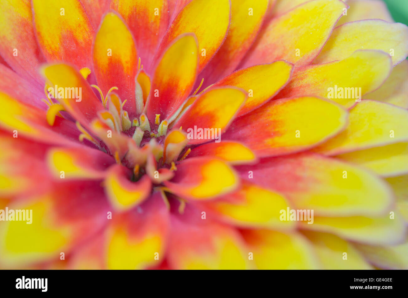 Pink And Yellow Hybrid Aster Flower Science Name Callistephus Stock