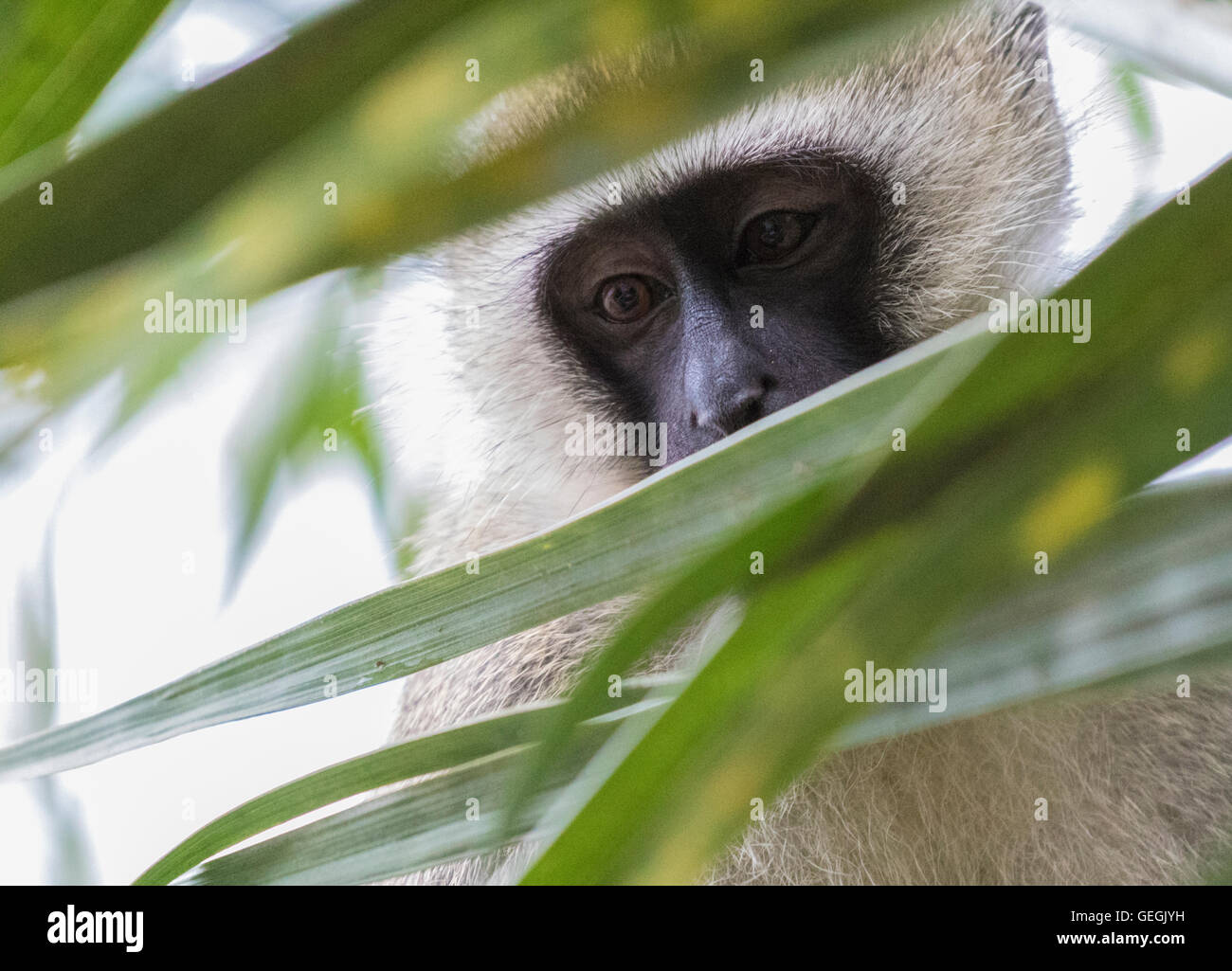 Vervet monkey sitting in a tree and peaking through the leaves, Ukunda, Kenya, Africa - Stock Image