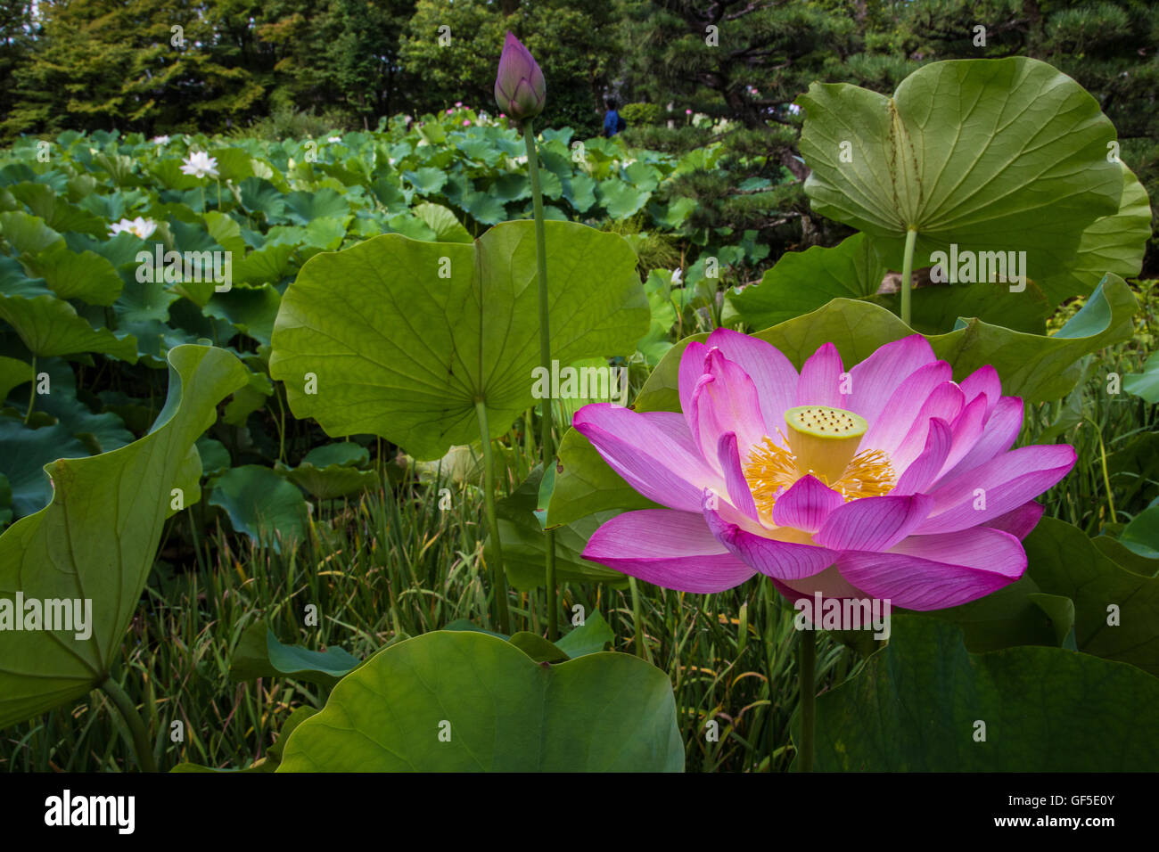 The lotus flower grows out of muddy ponds and display pink or white the lotus flower grows out of muddy ponds and display pink or white flowers that survive for only a few days in summer izmirmasajfo