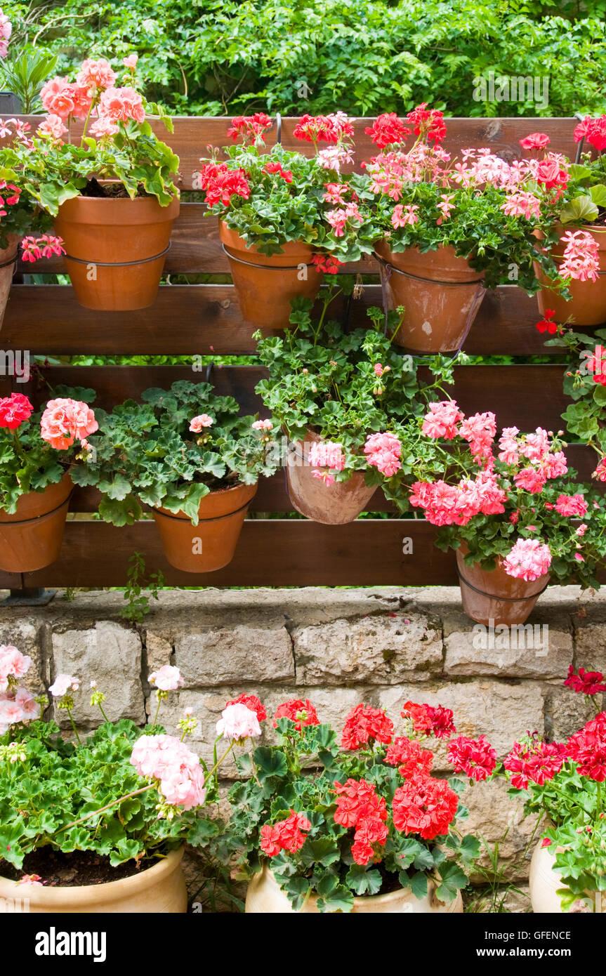 Israel, Ein Hod Artists village, pots of Geranium flowers Stock ...