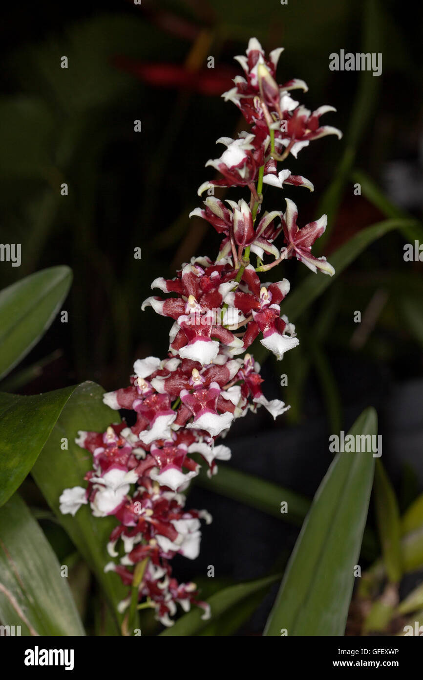 Spike Of Dark Red And White Flowers And Green Leaves Of Perfumed