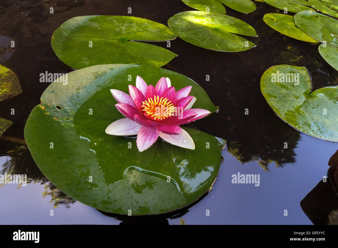 Lilypad stock photos lilypad stock images alamy pink water lily flowers in bloom with lilypad in garden backyard pond stock image izmirmasajfo Images