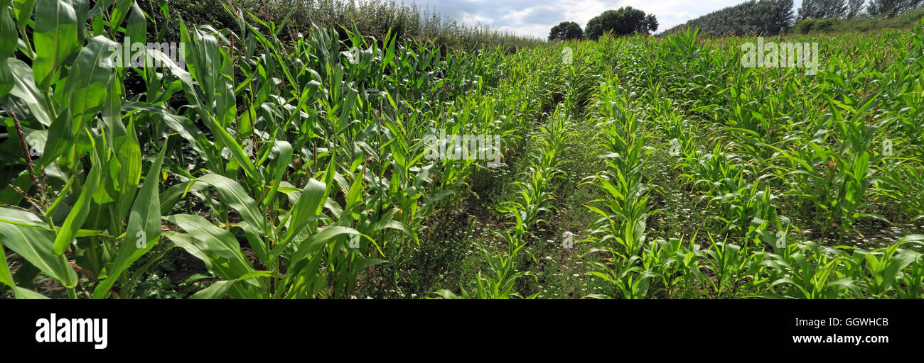 GoTonySmith,@HotpixUK,Tony,Smith,UK,GB,Great,Britain,United,Kingdom,English,British,England,problem,with,problem with,issue with,Buy Pictures of,Buy Images Of,Images of,Stock Images,Tony Smith,United Kingdom,Great Britain,British Isles,fields,Field of maize,field,maize,farm,Warrington,farming,crop,varieties,corn starch,corn oil,British farming landscape,soil,friendly,maize growing