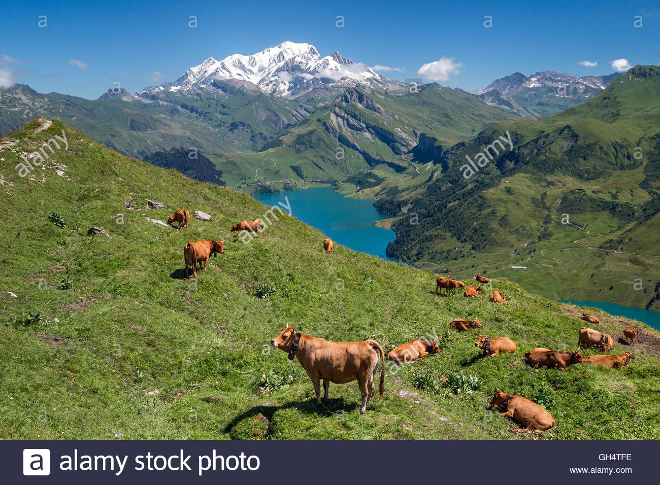 tarine-cows-in-front-of-roselend-lake-an
