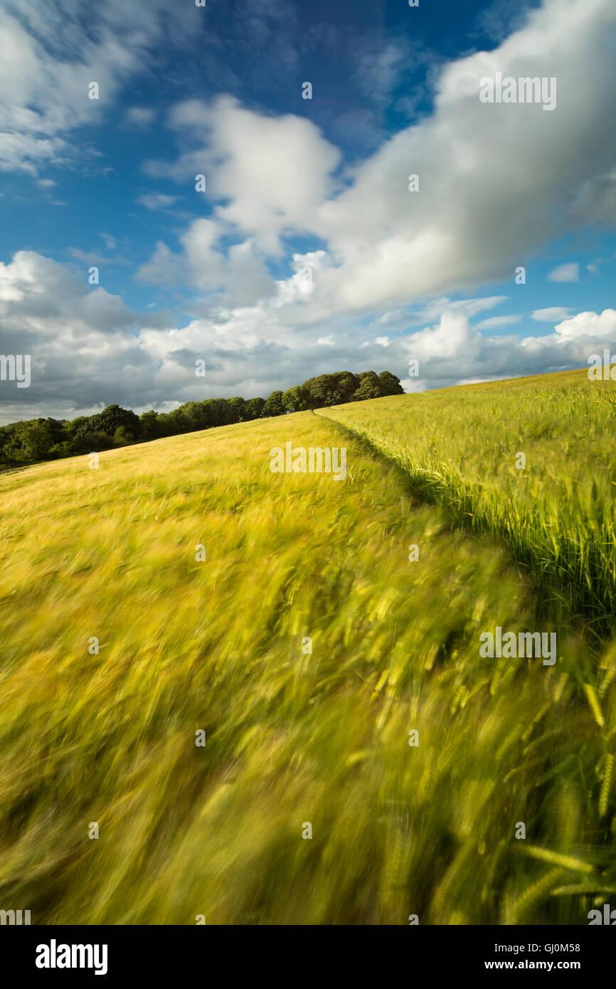 a barley field near Cerne Abbas, Dorset, England - Stock Image