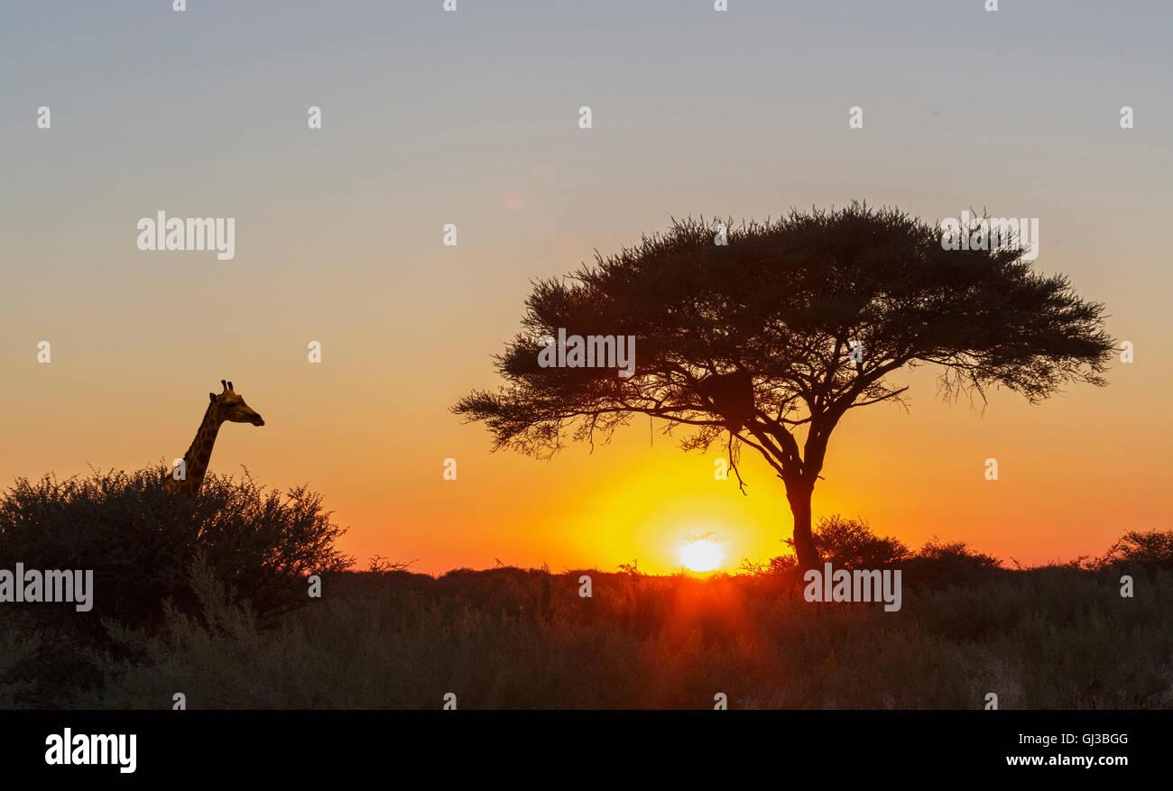 Giraffe, Lone Acacia tree at sunset, Etosha National Park, Namibia - Stock Image