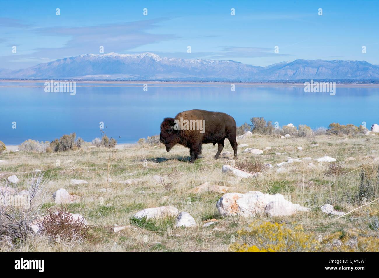 Buffalo in Antelope Island State Park Stock Photo