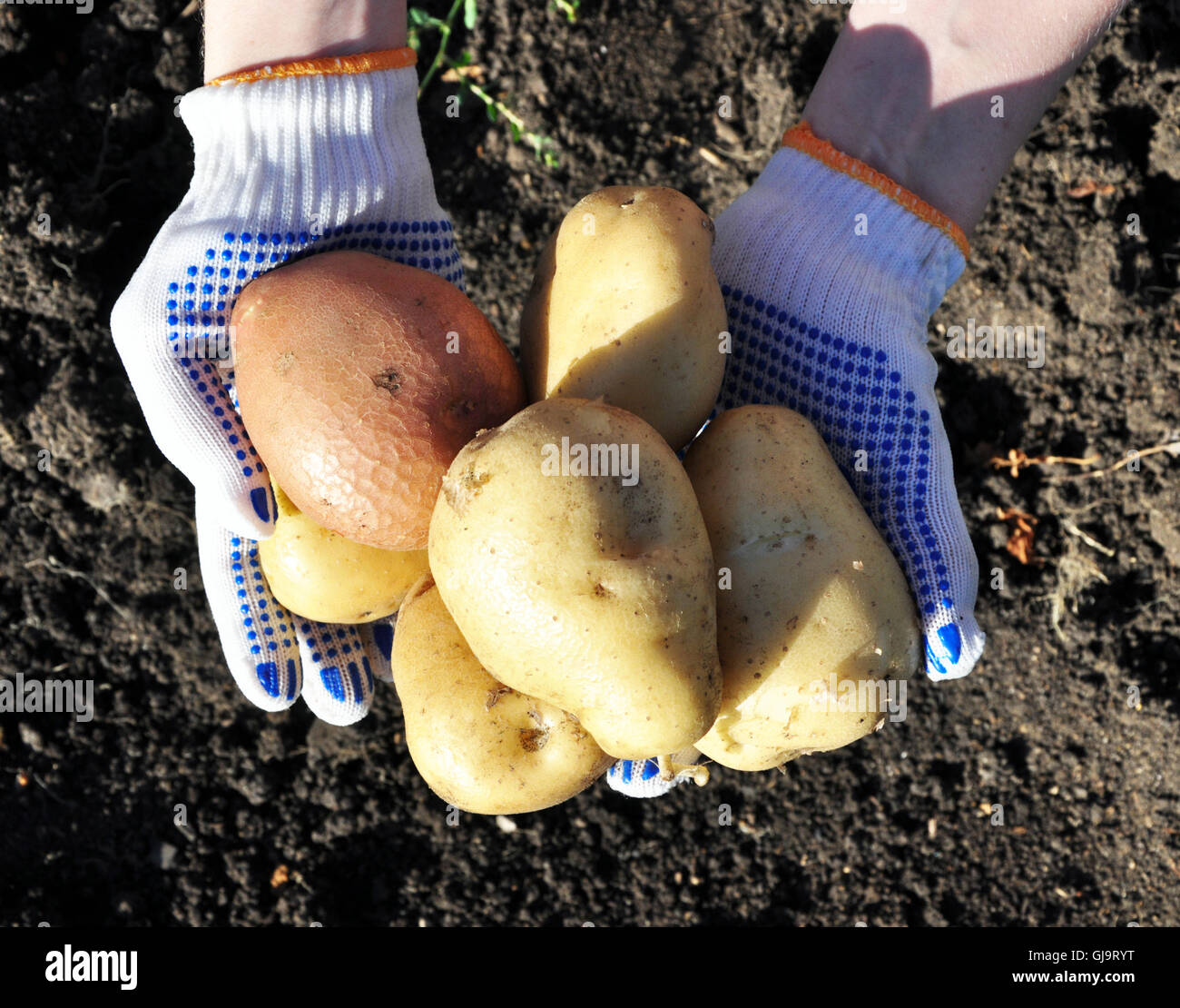 new potatoes - Stock Image