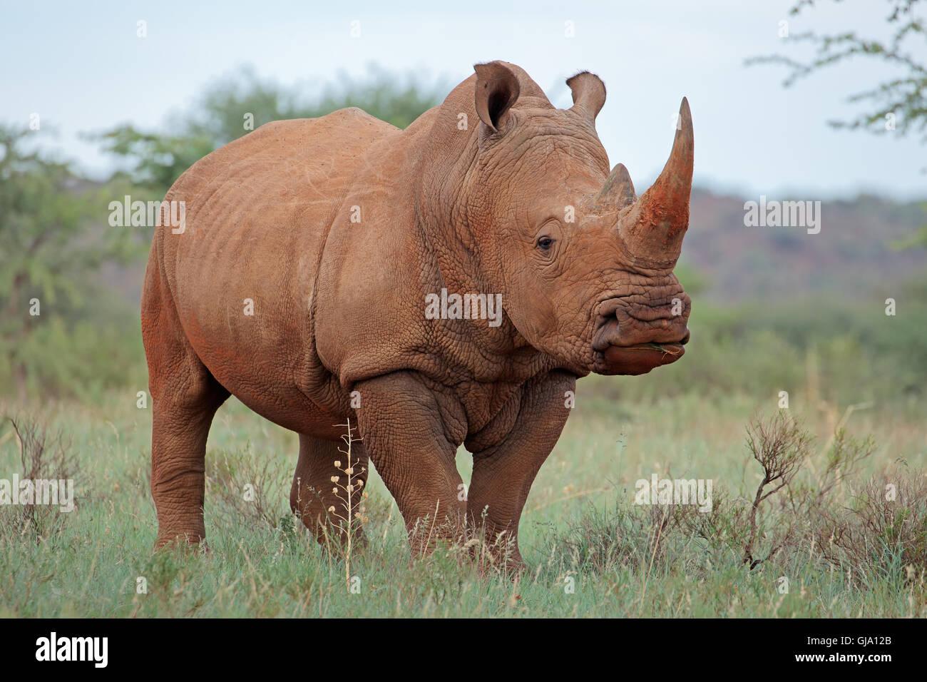 A white rhinoceros (Ceratotherium simum) in natural habitat, South Africa - Stock Image