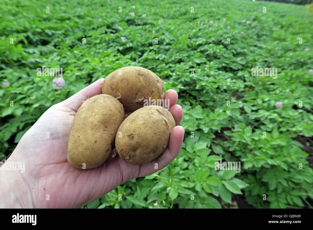 GoTonySmith,@HotpixUK,Tony,Smith,UK,GB,Great,Britain,United,Kingdom,English,British,England,problem,with,problem with,issue with,Buy Pictures of,Buy Images Of,Images of,Stock Images,Tony Smith,United Kingdom,Great Britain,British Isles,potatoes,potato,field of potatoes,Cheshire,held,holding,Solanum tuberosum,tuber,spuds,spud,where chips come from,staple crop,carbs,staple food,carbohydrate
