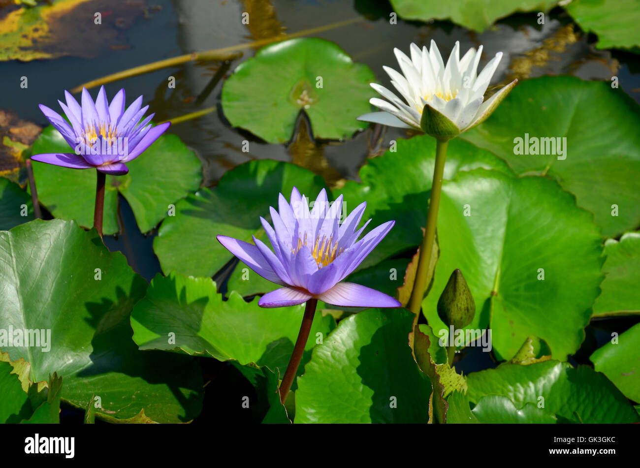 White lotus flower and violet water lily blossom with molly fish or white lotus flower and violet water lily blossom with molly fish or swordtail fishes swimming in water tank at garden izmirmasajfo Image collections