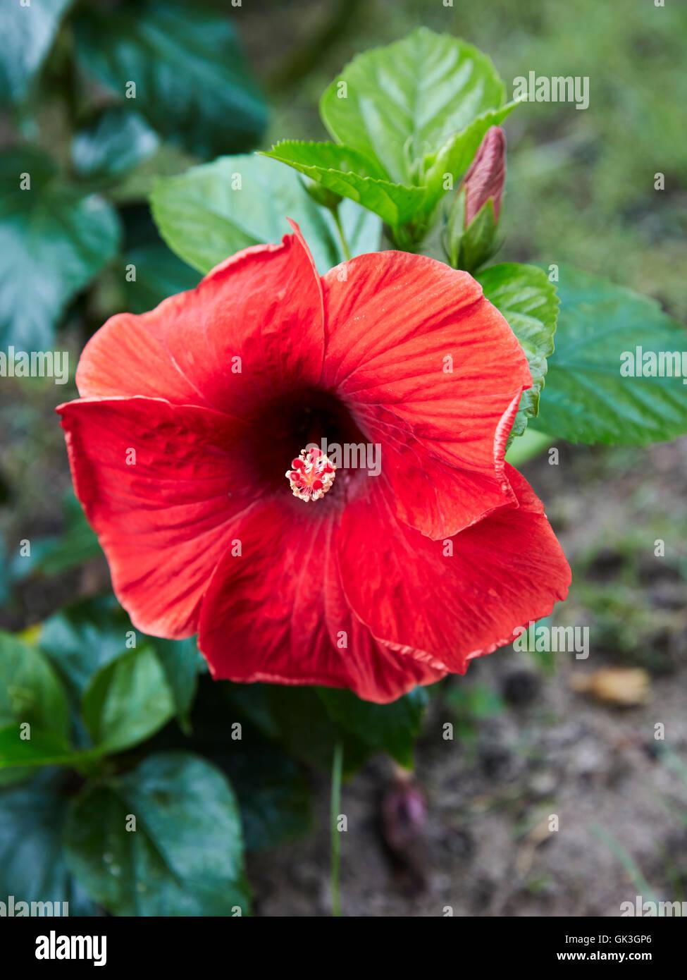 Red hibiscus flower scientific name hibiscus rosa sinensis hoi an red hibiscus flower scientific name hibiscus rosa sinensis hoi an quang nam province vietnam izmirmasajfo