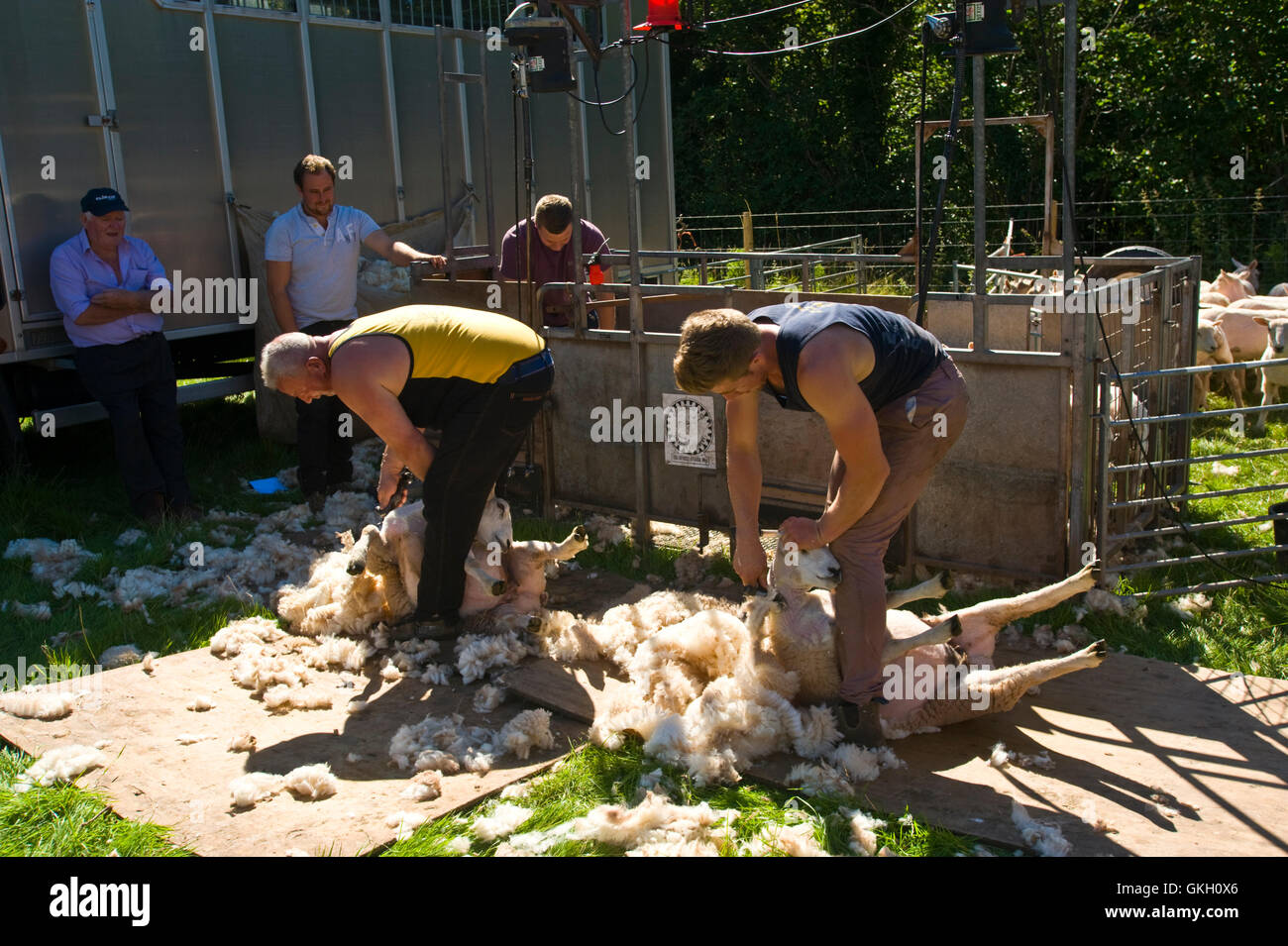 Sheep shearing at Llanthony Show near Abergavenny Monmouthshire South Wales UK - Stock Image