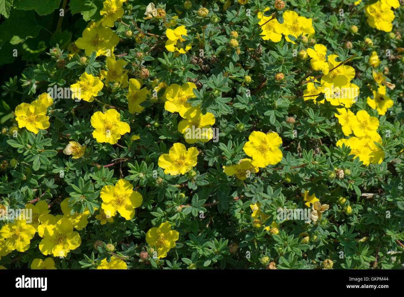 Yellow flowers of shrubby cinquefoil potentilla fruticosa medicine yellow flowers of shrubby cinquefoil potentilla fruticosa medicine wheel mountain berkshire june mightylinksfo