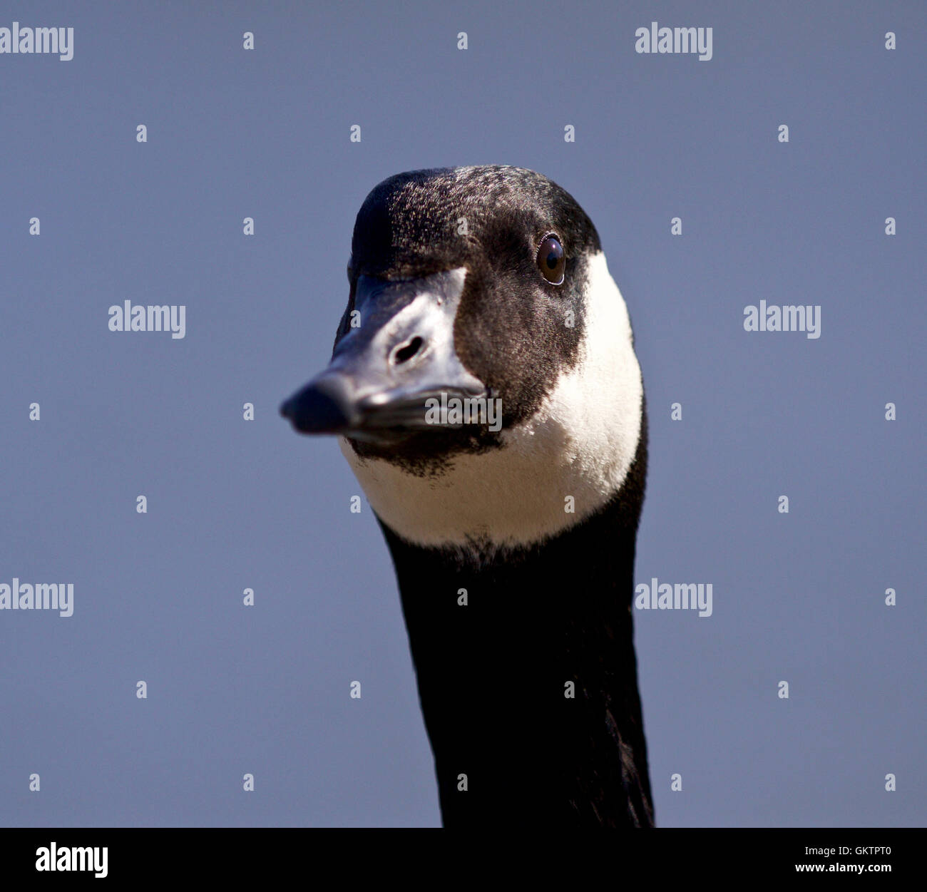 Isolated Portrait Of A Cute Canada Goose Stock Photo 115485440 Alamy