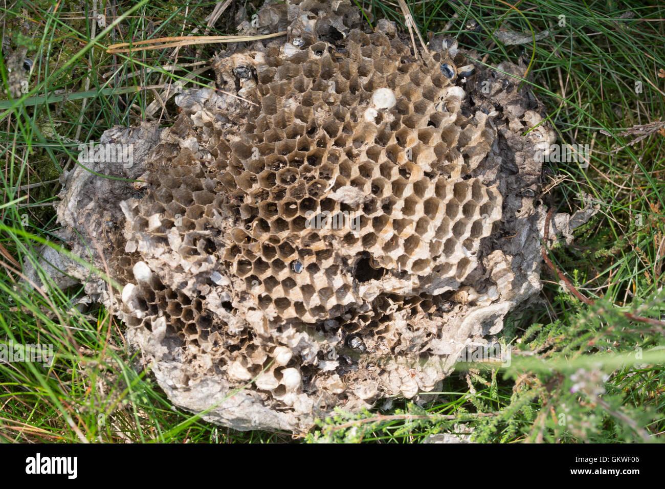inside-of-common-wasp-nest-vespula-vulgaris-GKWF06.jpg