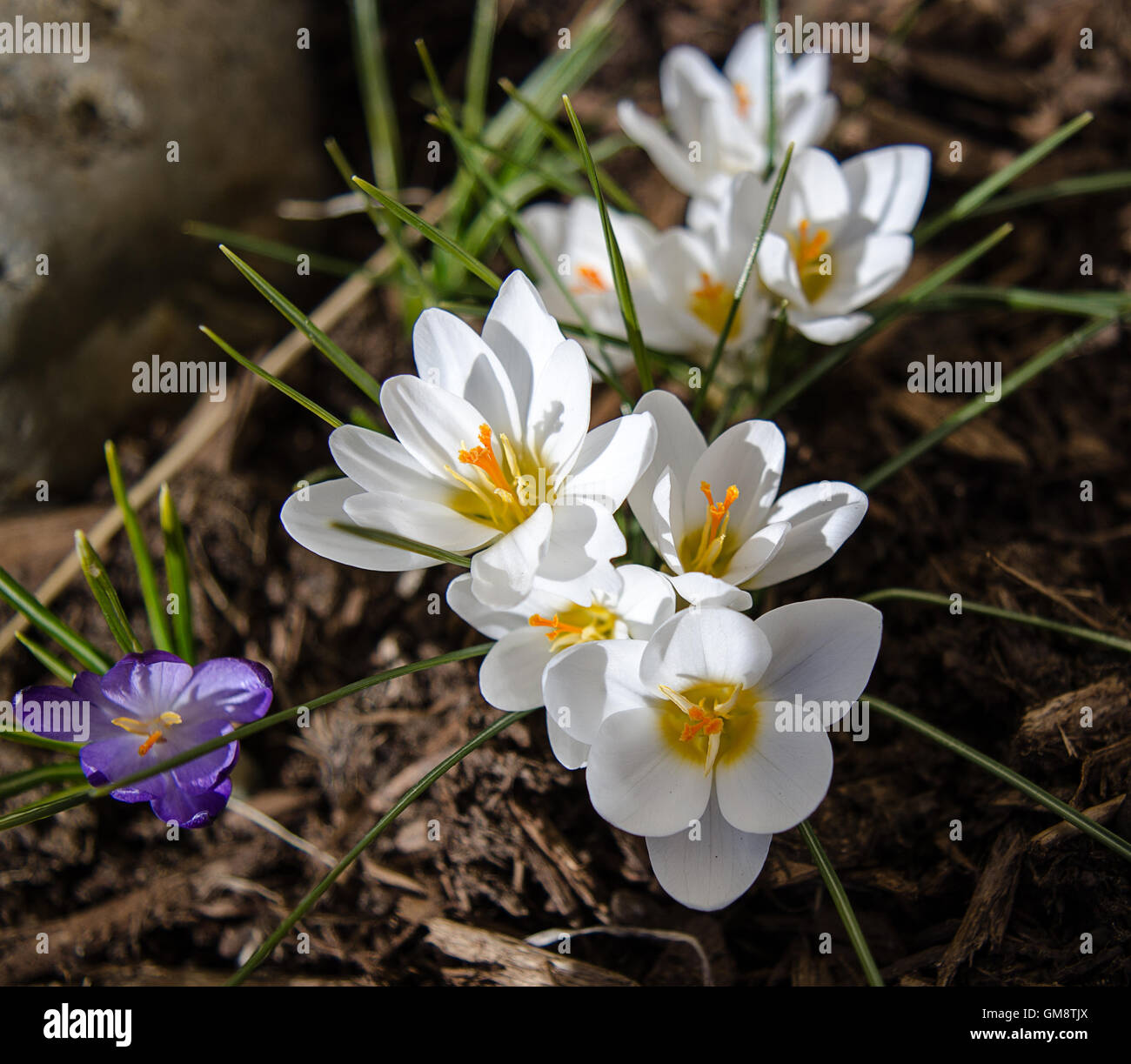 Bright White Flowers Are What Crocuses Push Up In The Spring Stock