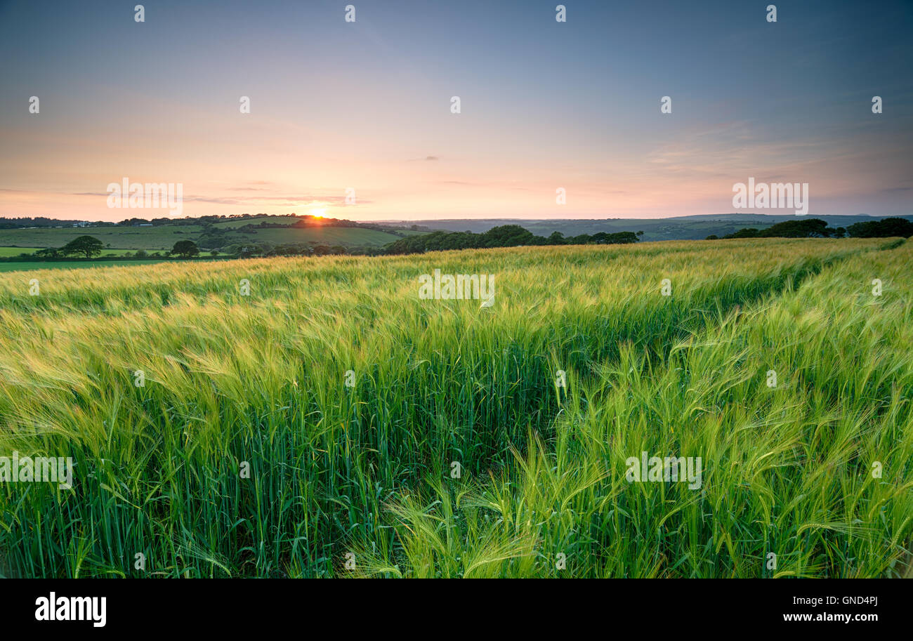 Sunset over a field of lush green barley in the Cornish countryside - Stock Image