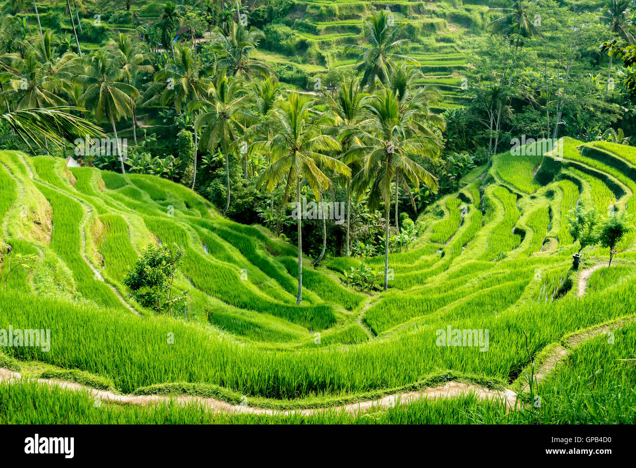 Famous attraction of Ubud - The Tegallalang  Rice Terraces in Bali, Indonesia - Stock Image