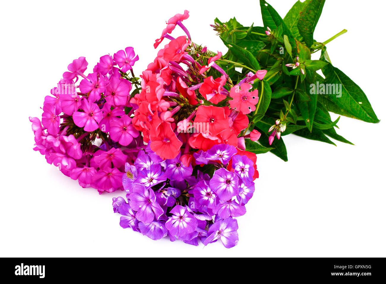 Bright Beautiful Flowers Phlox On White Stock Photo 117372012 Alamy