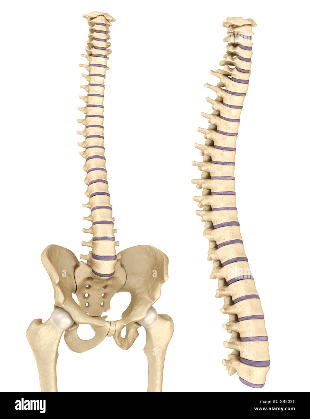Spinal cord and pelvis Stock Photo: 117443308 - Alamy