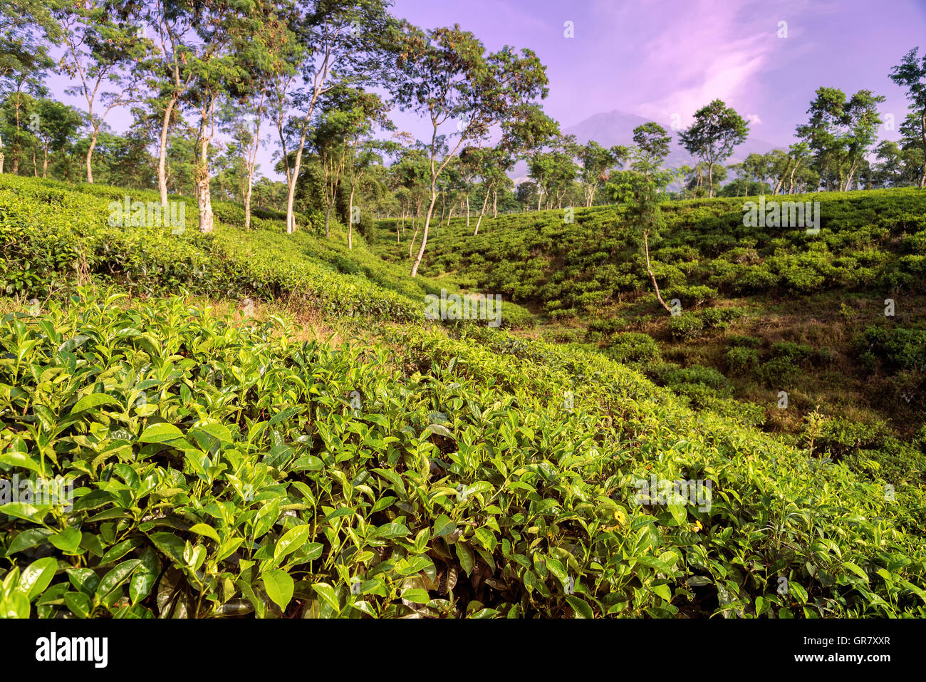 Morning at the tea plantations at Java, Indonesia - Stock Image