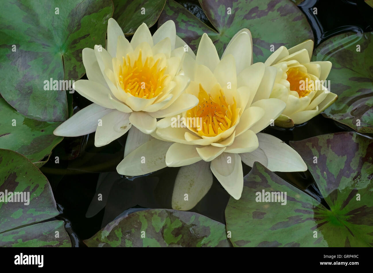 Water marsh lily stock photos water marsh lily stock images alamy fragrant water lily flowers nymphaea odorata eastern usa stock image izmirmasajfo Gallery