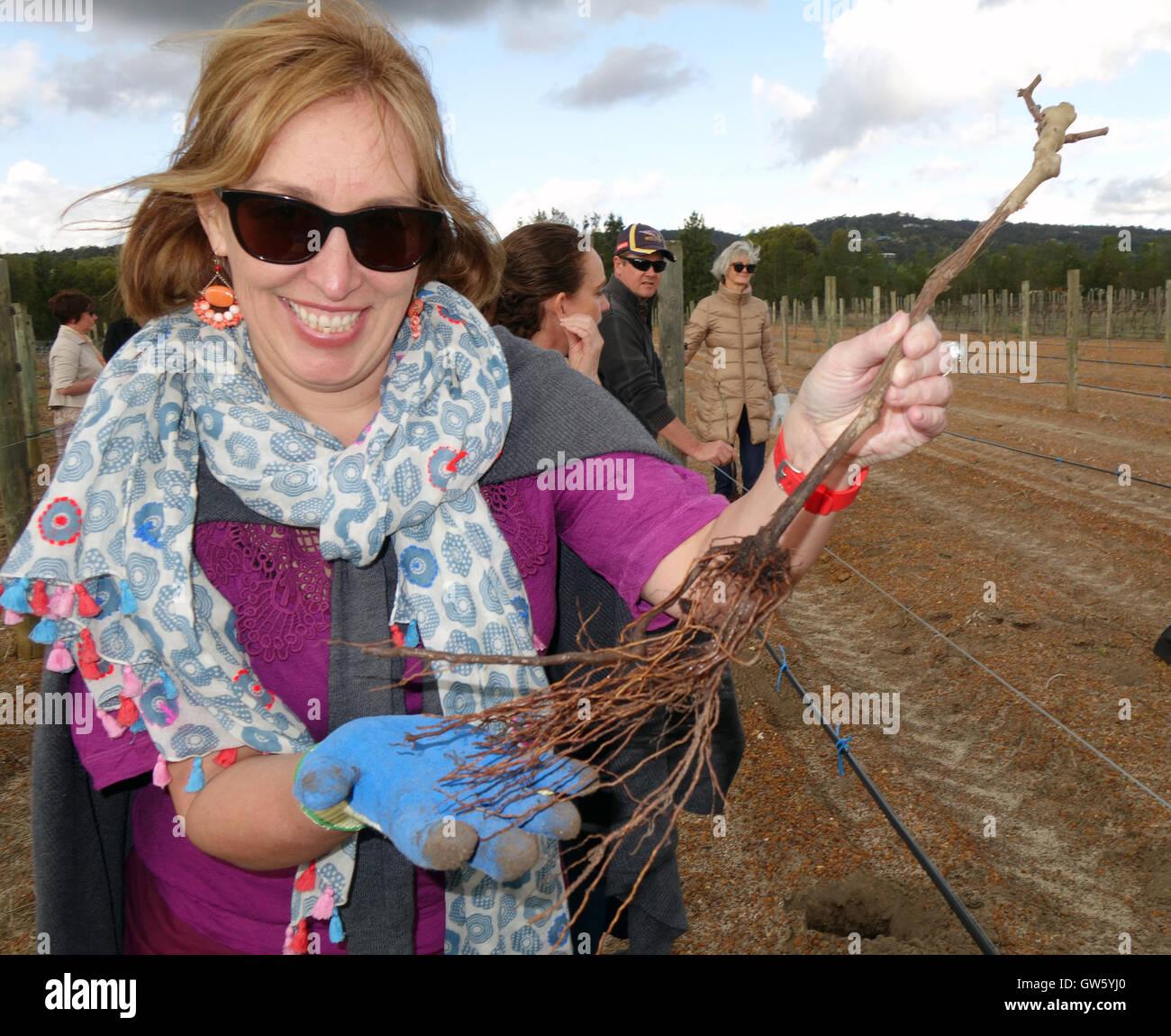 woman-ready-to-plant-grafted-grape-vine-in-vineyard-swan-valley-perth-GW5YJ0.jpg