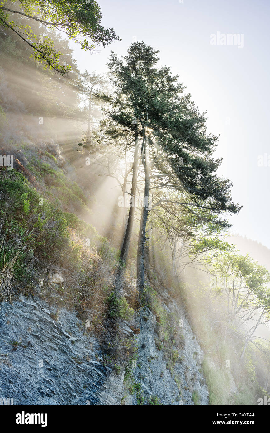 The sun shines through trees on The Lost Coast of California. - Stock Image