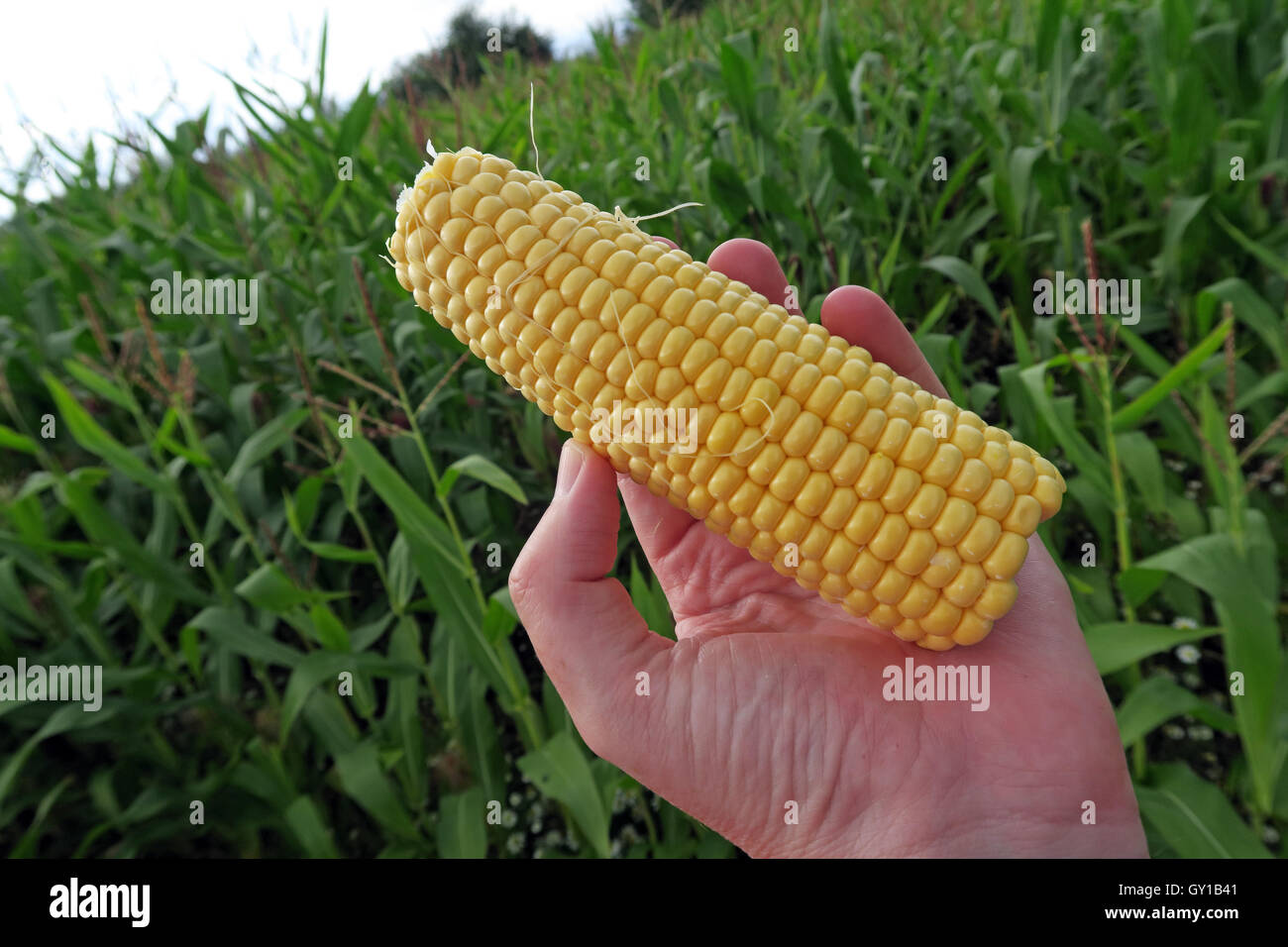 agriculture,farm,farming,England,UK,hand,hands,holding,yellow,close,macro,environmental,issue,farm,farmer,farming,vegetable,fruiting,holdin,holding,organic,produce,cob,ear,fresh,harvest,yellow,husk,ingredient,natural,nature,cultivated,ripe,Where does sweetcorn come from,How does corn grow,GoTonySmith,@HotpixUK,Tony,Smith,UK,GB,Great,Britain,United,Kingdom,English,British,popcorn,popping,August,close,up,closeup,cereal,cereals,oil,cornoil,environment,farm,field,food,fresh,freshness,golden,grain,green,hands,harvest,health,healthy,hold,ingredients,kernels,nature,nutrition,nutritious,raw,vitamin,yellow,lemon,5aday,five,5,aday,a,day,plant,plantation,planting,Buy Pictures of,Buy Images Of,Images of,Stock Images,Tony Smith,United Kingdom,Great Britain,Popping Corn,Corn oil,Where Food Comes from