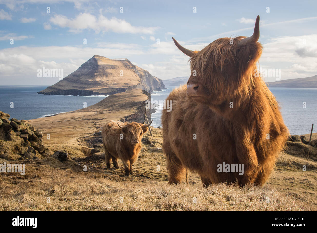 Highland cows in Koltur island. Faroe islands Stock Photo